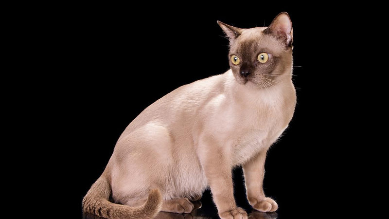 Rangpurсat - Cattery of the American Burmese