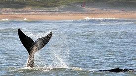 Temporada de avistamento das baleias-francas em Imbituba-SC, encanta turistas e população local. Um espetáculo da natureza a poucos metros da areia da praia