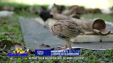 Pag-Alaga sa Chicks Day 1 to 30 sa Sabong Simple Lang January 18, 2020