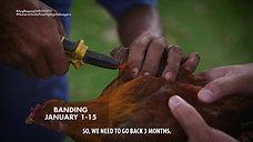 Usapang Timing ng Breeding for Wingbanding June 13, 2021