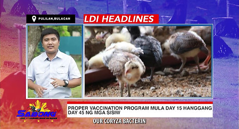 More Chick Vaccination Advice with LDI Headlines November 8, 2020