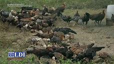 Usapang Fowl Cholera sa Range on LDI Headlines April 11, 2021