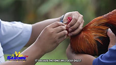 Breeding Material Priming sa Sabong Health Corner October 17, 2020