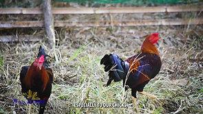 Paghanda sa Sabong Ranging sa Tutok Manok February 21, 2021