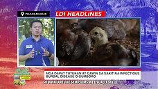 Doc John of LDI Headlines on Gumboro sa Manok Sabong January 24, 2021