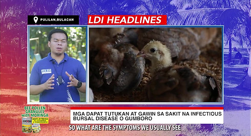 Doc John of LDI Headlines on Gumboro sa Manok Sabong January 24, 2021
