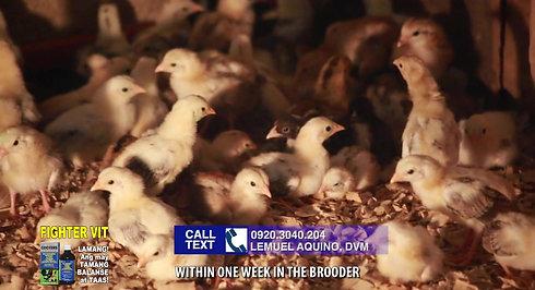 Chick Care for Sabong sa LDI Headlines October 17, 2020