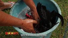 Paghanda sa Breeding on Usapang Bloodlines August 1, 2021
