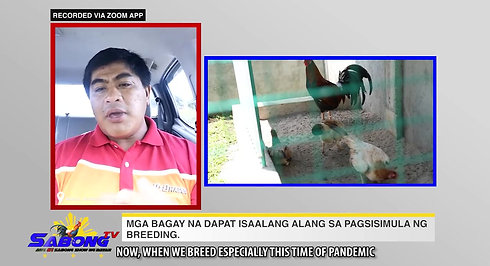 Problema sa Breeding sa Sabong with Doc Nilo October 17, 2020