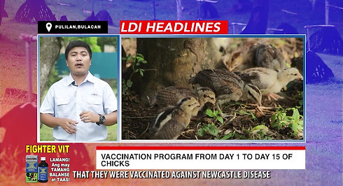 LDI Headlines on Day 1 to Day 15 Chick Vaccination for Sabong October 31, 2020