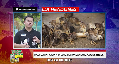 Doc John of LDI Headlines on Cold Stress sa Sabong December 27, 2020