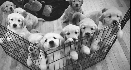 Potter Puppies Crate BW Video