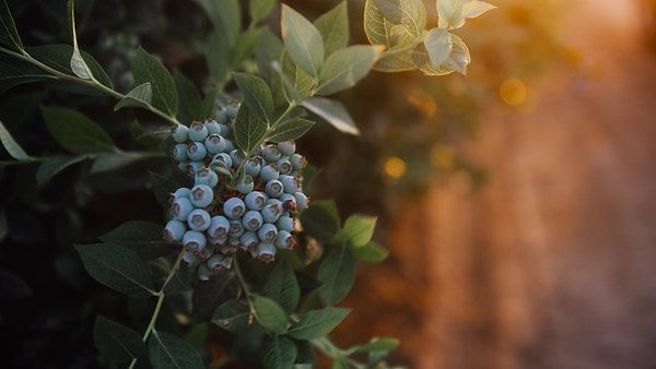 Triple Delight Blueberries