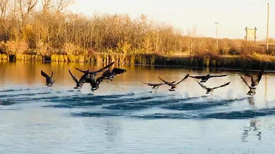 Flight of The Canadian Geese