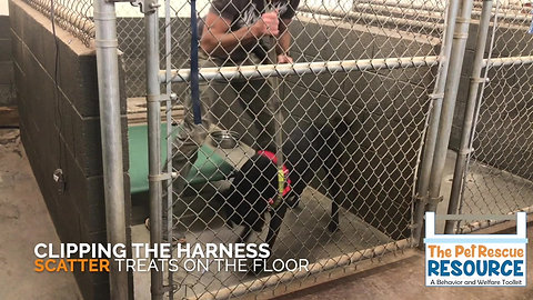 Harnessing & Leashing J/M Shelter Dogs
