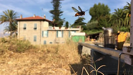 Asian Hornets Hawking At Hive