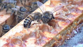 Honeybees Up Close In The Hive