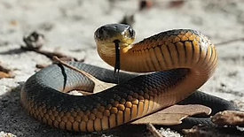 Snake Avoidance for Dogs