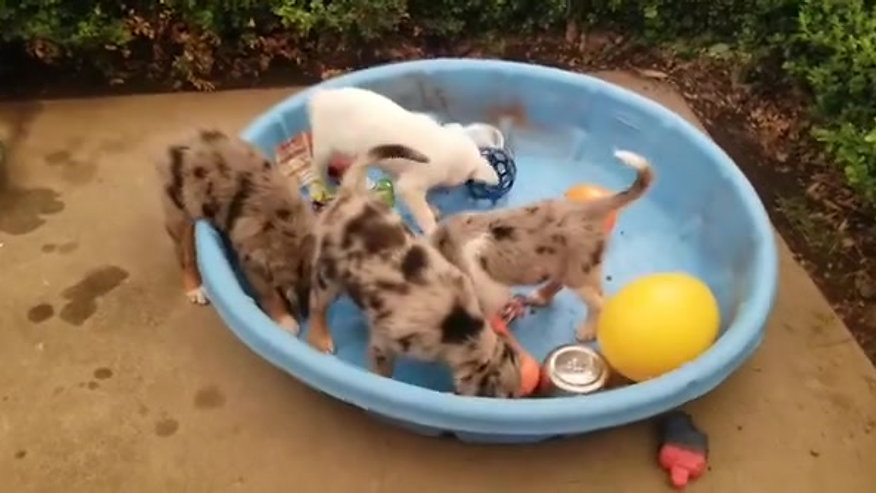Puppies in the Pool