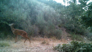 Roe deer on camera trapping