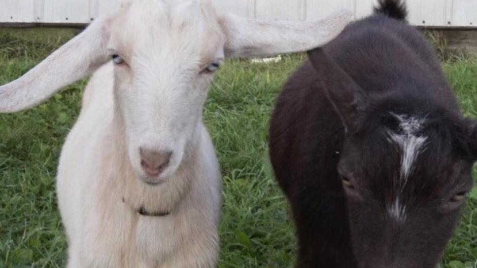 Goat-2-meeting