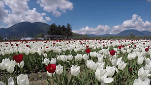 Vancouver - Tulips