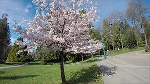 Vancouver - Cherry Blossom
