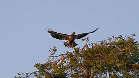 Juvenile Bald Eagle Takes Off