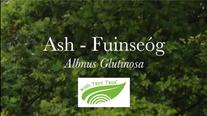 Ash - Fuinseóg (Fraxinus excelsior)