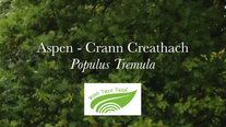 Aspen - Crann creathach (Populus tremula)