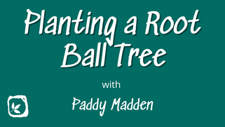 Planting a Root Ball Tree