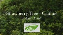Arbutus, Strawberry Tree - Caithne (Arbutus unedo)