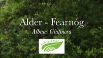 Alder - Fearnóg (Alnus glutinosa)
