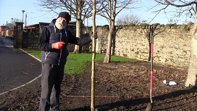 How to Plant a Root Ball Tree