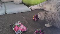 Kittens Luna 2020