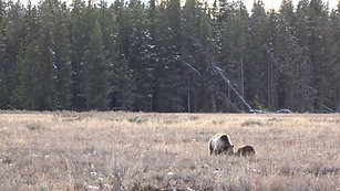 Grizzly Bears at Grand Teton