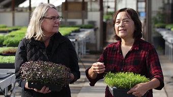 Sebastopol Microgreens Commercial
