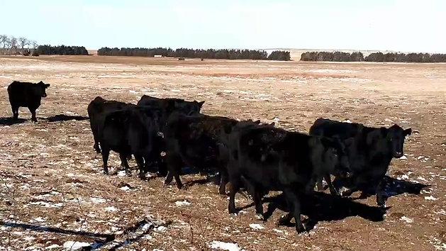 2017 Sale Cows