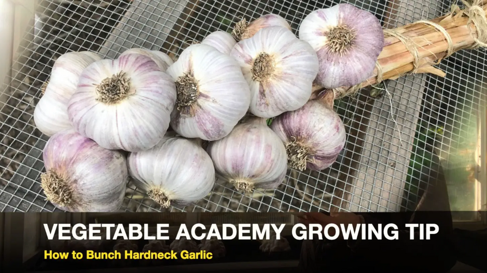 How to Bunch Hardneck Garlic