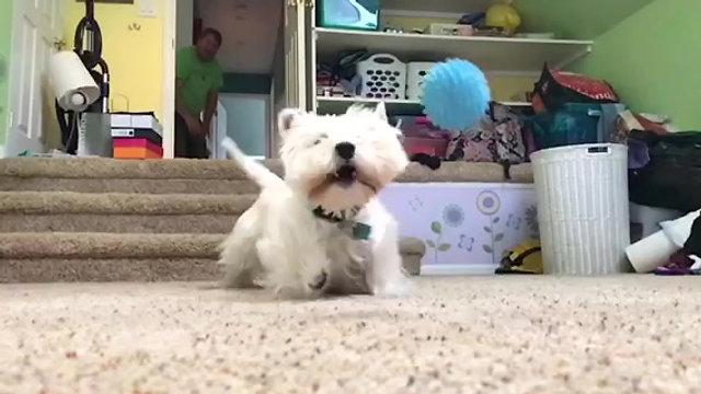Bob chasing his ball