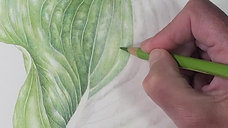 Class 2,  Hosta Leaf