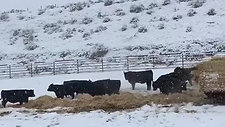 Black Angus Bulls Excited to get Fresh Straw