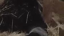 Black Angus Calf Being Born