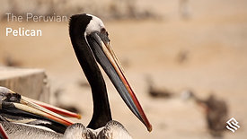 The Peruvian Pelican