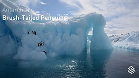 Antarctica's brushed-tailed penguins
