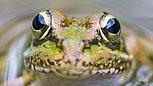 Cápsula 4. La Rana verde común
