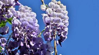 世界名曲《藍色的愛》 法國坡勃作曲,保羅·莫裏哀樂團演奏