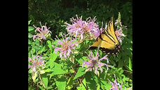 Swallow tail butterfly and bumble bee pollinate a mint plant