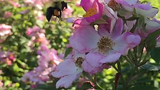 Bumble bee pollinates rose (probably invasive)