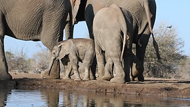 Cutest baby elephant having a drink at the hide